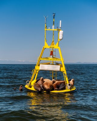 A group of sea lions hanging out on the Halibut Bank Weather Buoy in Georgia Straight.